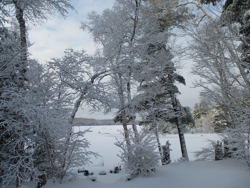 Бесплатное стоковое фото с покрытие снега деревьями, сильный снегопад на деревьях. зима снег