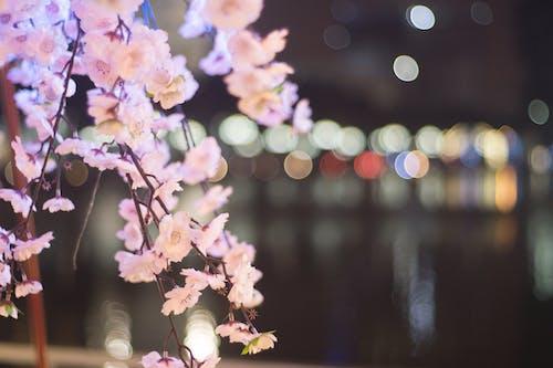 Gratis lagerfoto af blomst, japansk kirsebærtræ