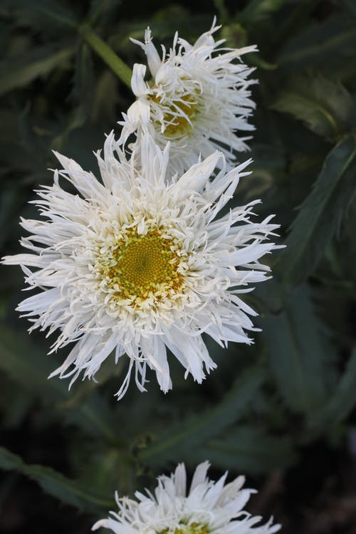 Photos gratuites de fleur, marguerite blanche