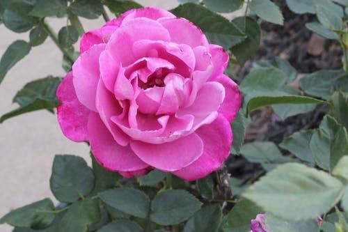 Photos gratuites de fleurir, magnifiques fleurs, rose, Rose rose