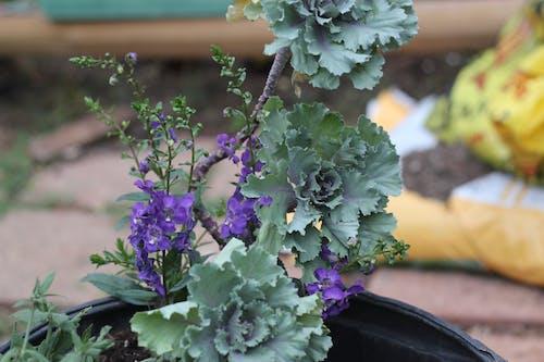 Fotos de stock gratuitas de planta de col ornamental
