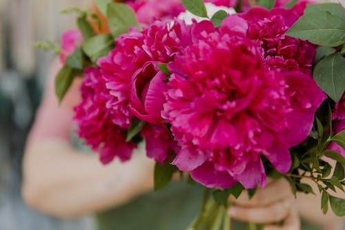 Close-Up Shot of a Person Holding Beautiful Pink Peonies