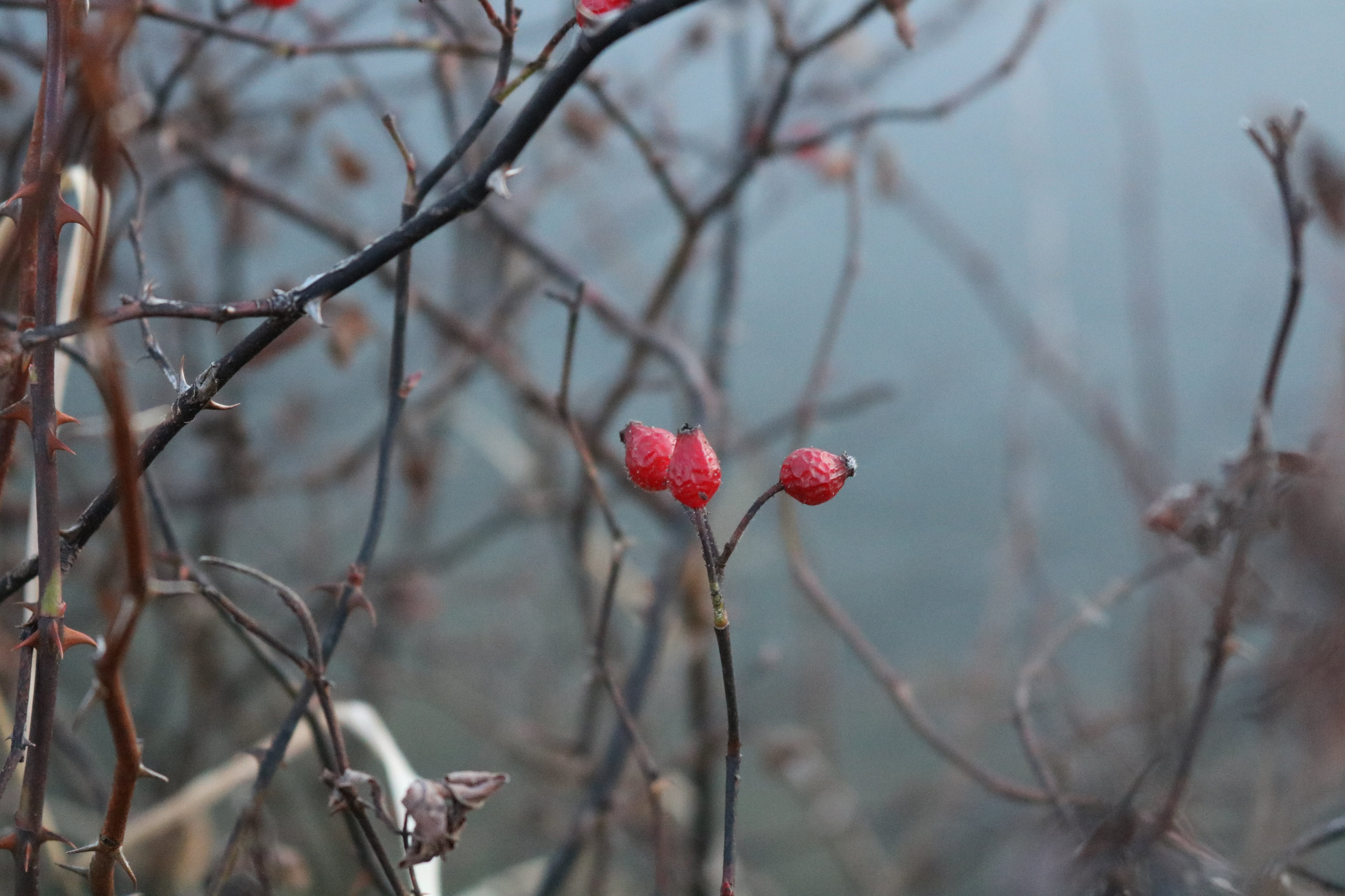 Free stock photo of berries, close up, close-up, nature
