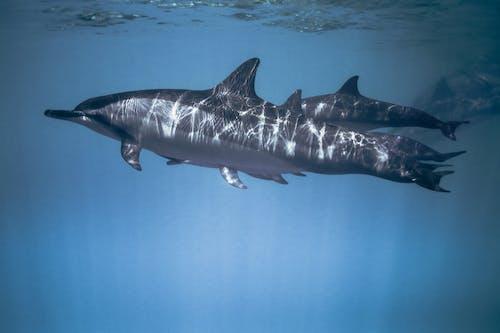 Základová fotografie zdarma na téma delfín, divočina, havaj