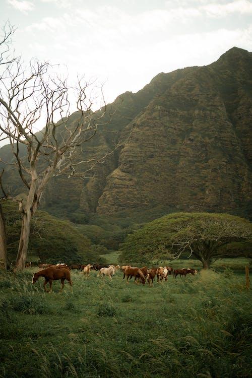 Wild horses pasturing in mountainous valley