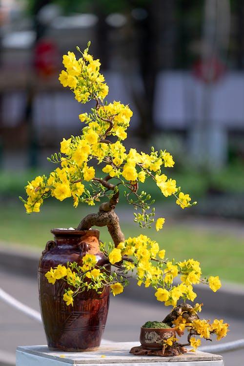 Beautiful Yellow Flowers of a Bonsai Tree