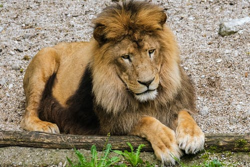 Photo of a Wild Lion Sitting on the Ground