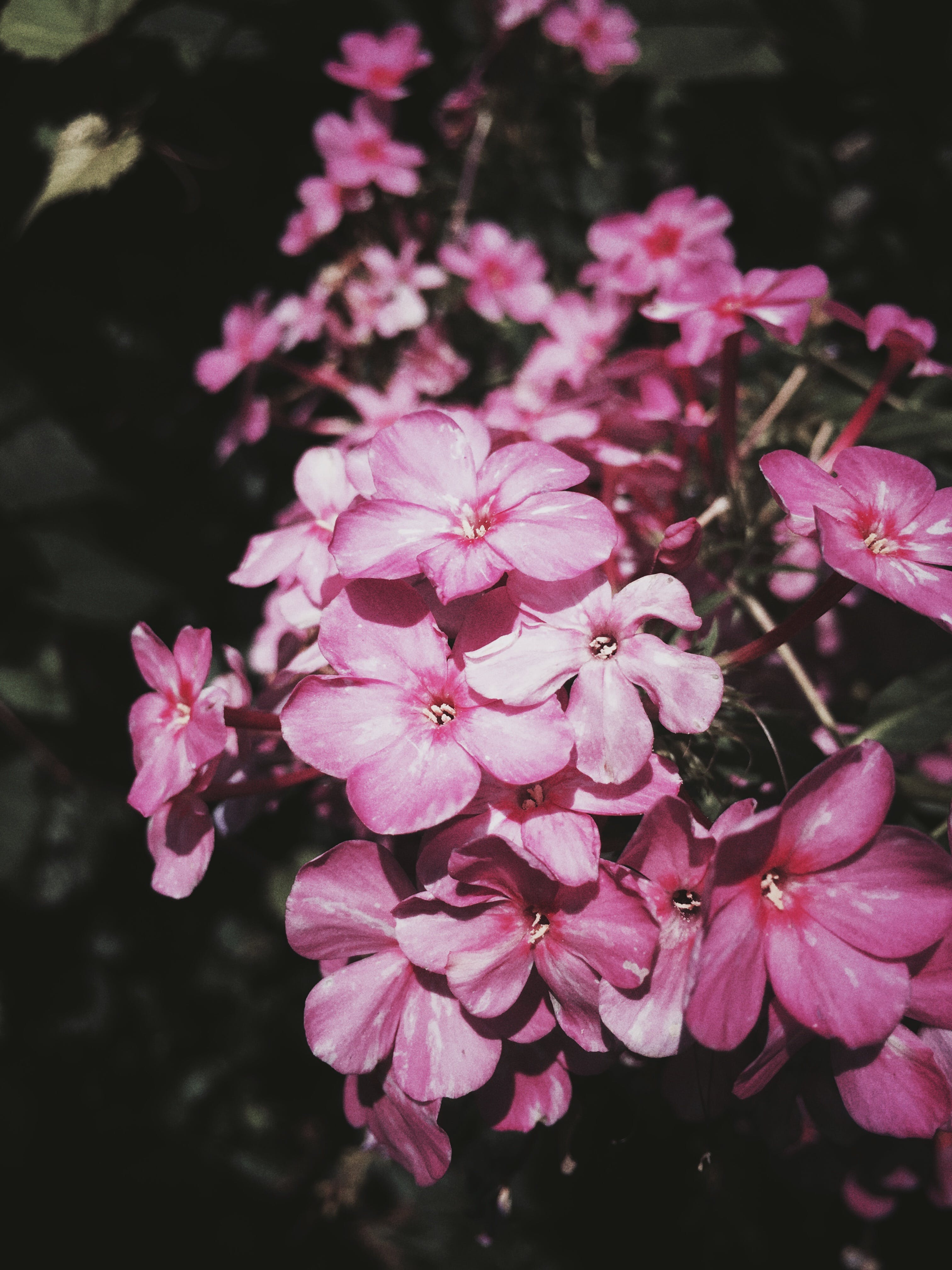 Free stock photo of pink flowers, moody
