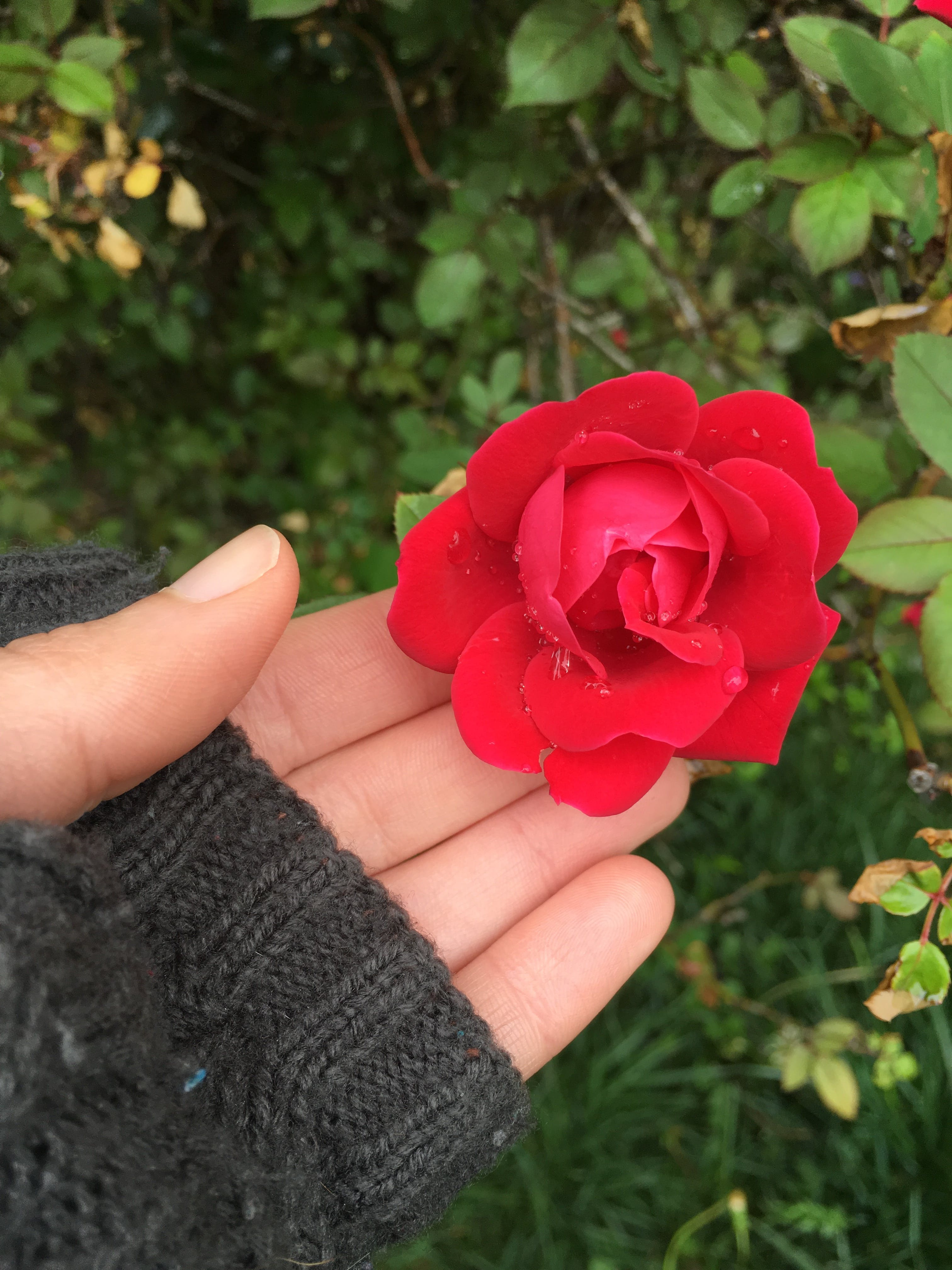 Free stock photo of hand, flower, Red Rose