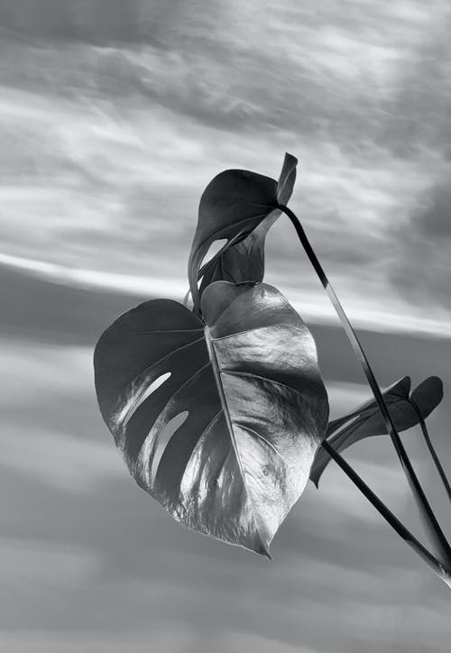 Grayscale Photo of Leaves Under Cloudy Sky
