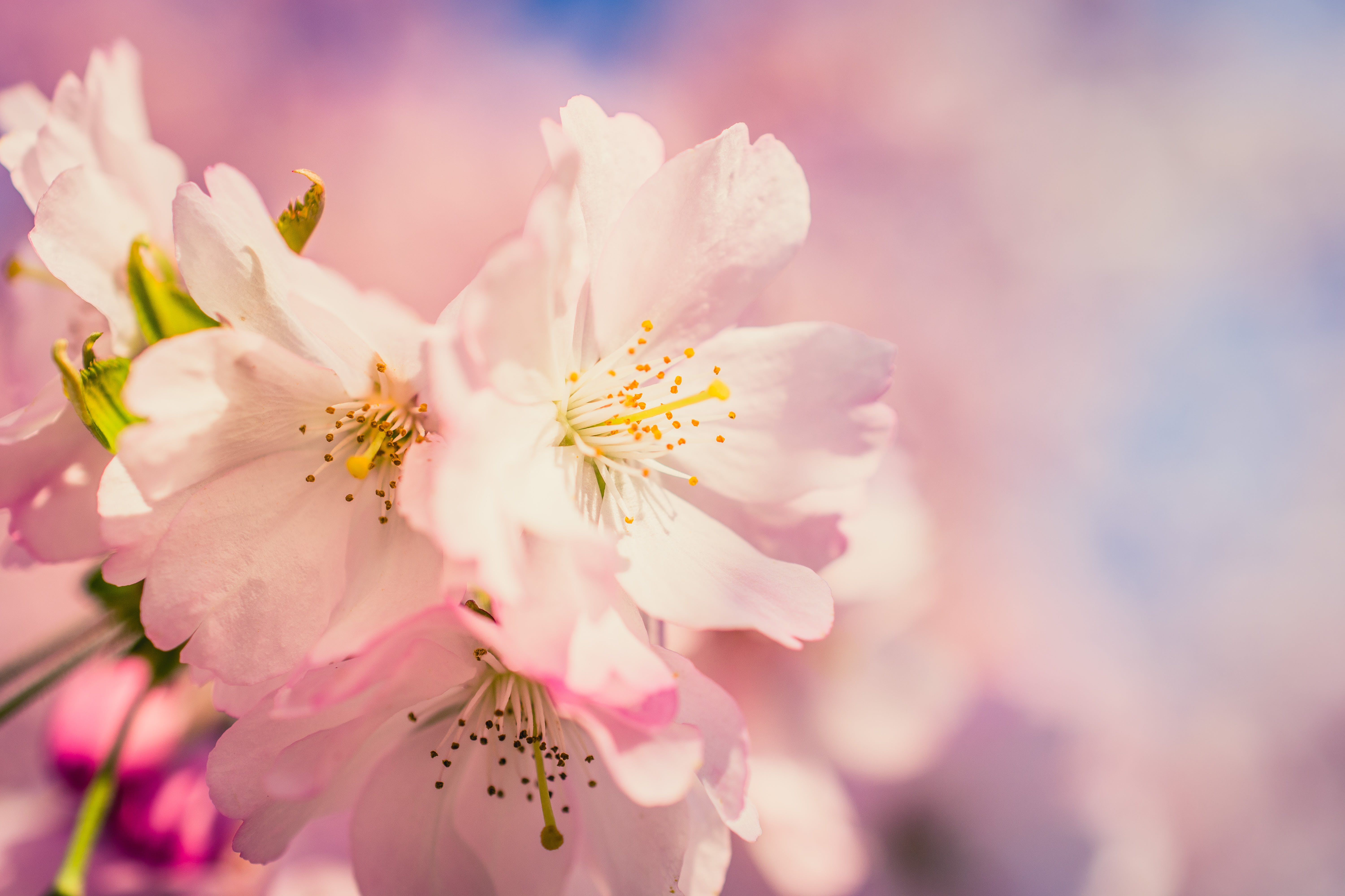 Free stock photo of beautiful, bloom, cherry blossom, cherry blossoms