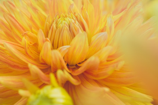Close-Up Photography of Yellow Dahlia Flower