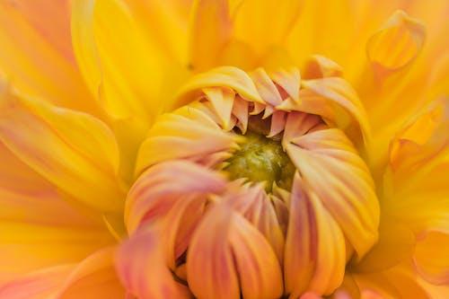 Photos gratuites de brillant, chrysanthème, coloré, couleur