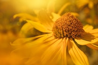 Shallow Focus Photography of Yellow Daisy