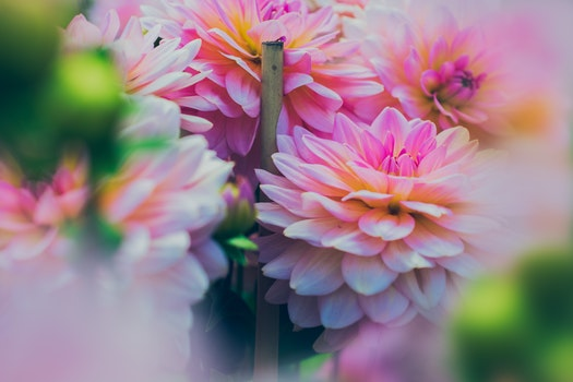 Close up Photography of Pink Dahlia Flowers