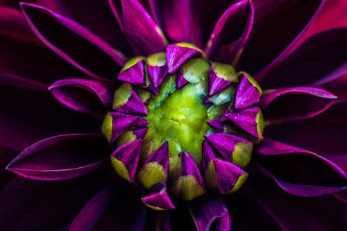 Macro Photography of Purple Dahlia Flower