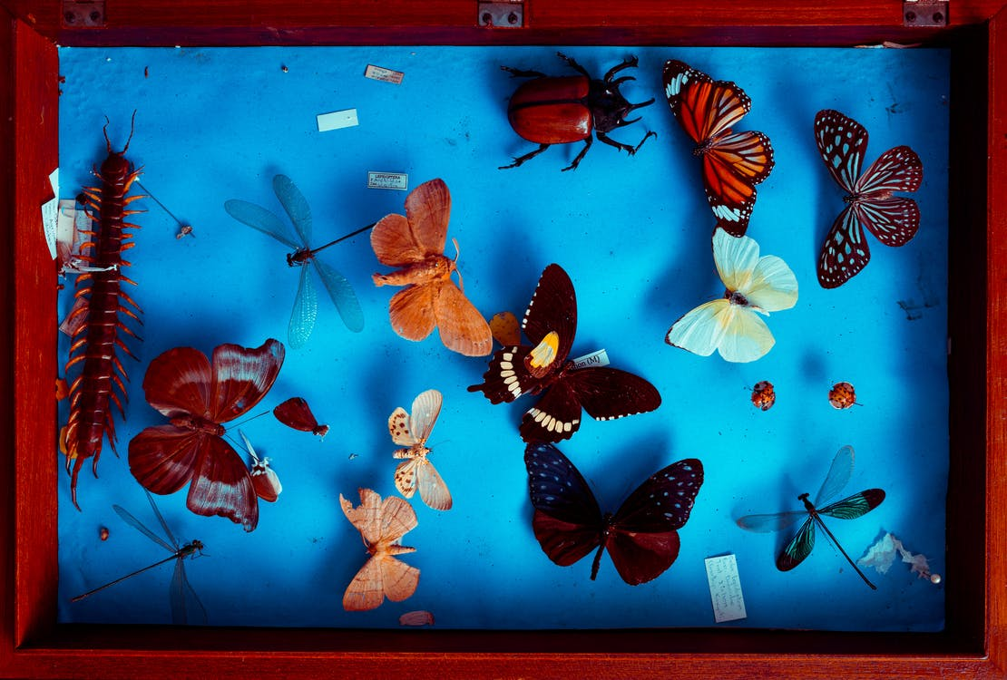 Multicolored Butterflies Taxidermy