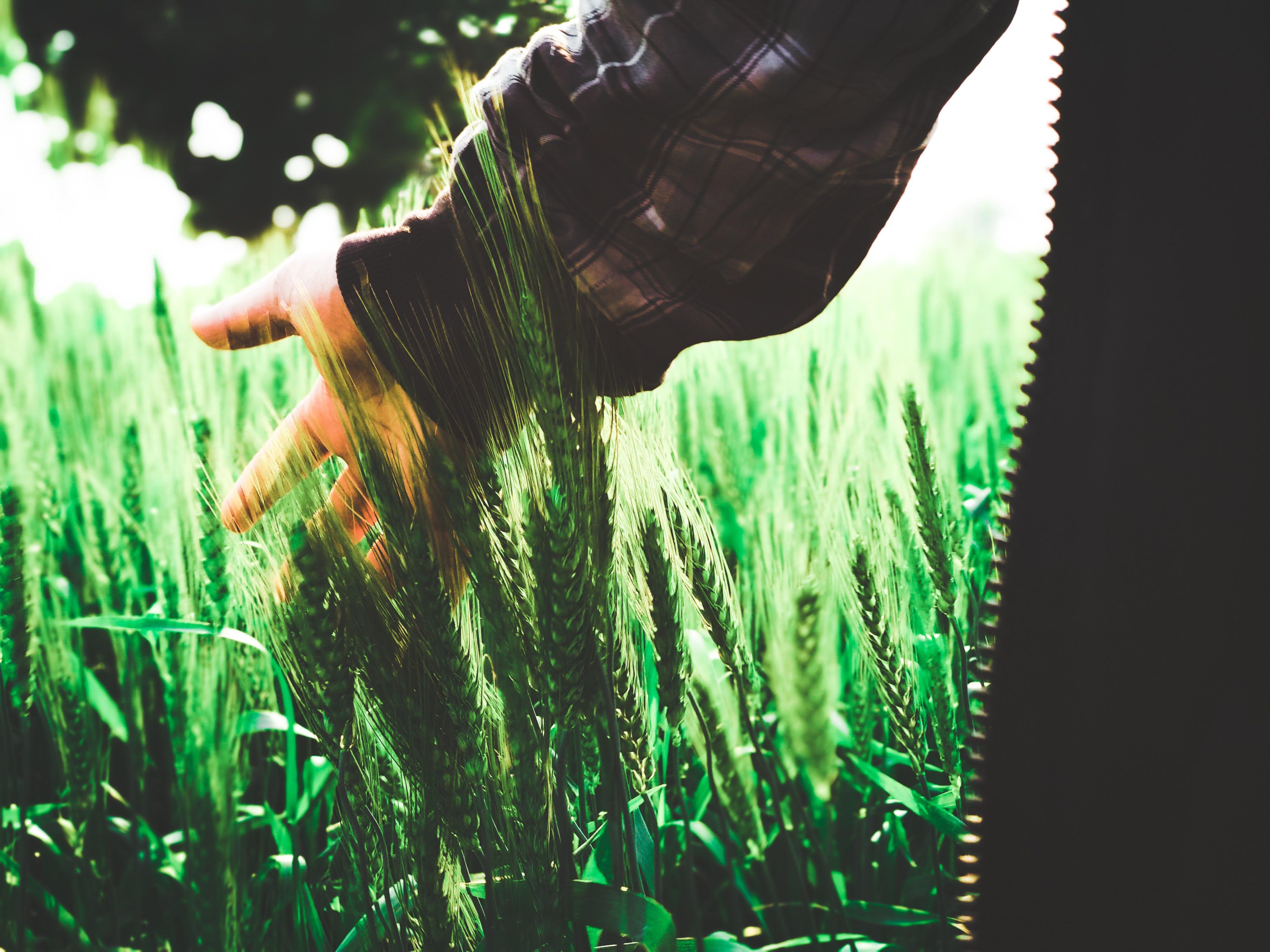 Kostenloses Stock Foto zu feld, feldfüchte, grün, hand