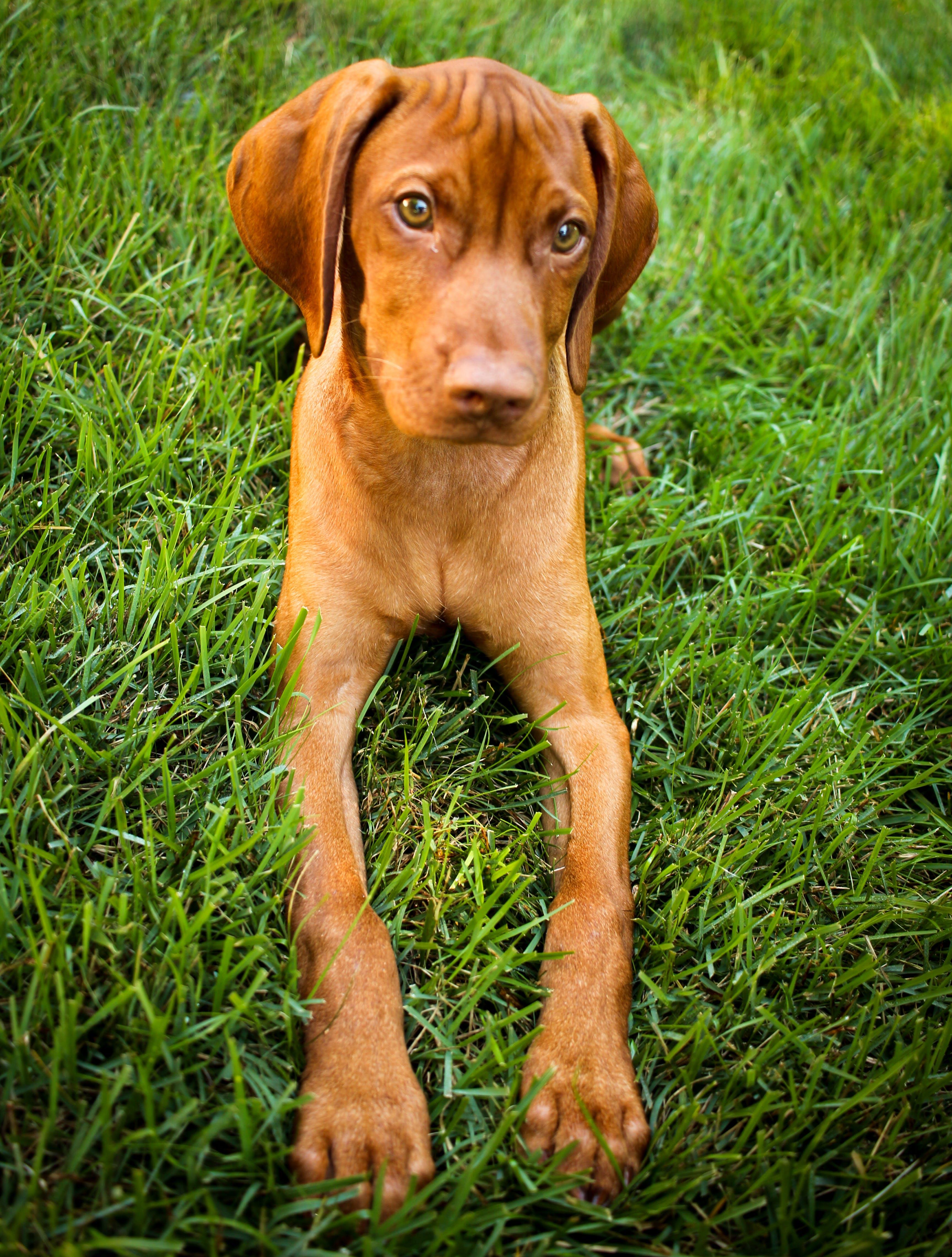 Imagine de stoc gratuită din câine, cățeluș, vizsla