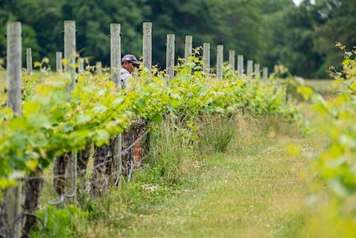 Free stock photo of agbiopix, farm worker, winery