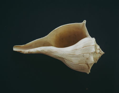 A Close Up of a Conch Shell