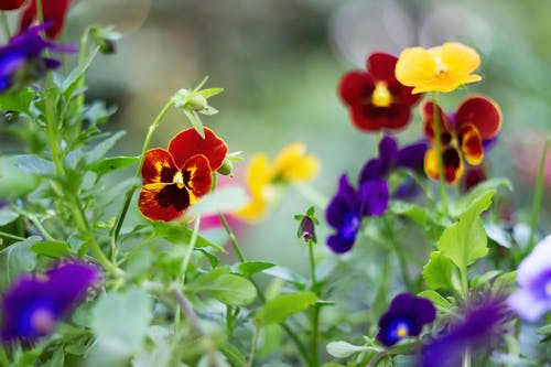 Colorful Garden Pansy Flowers