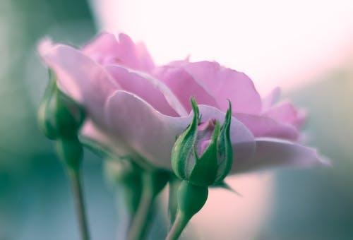 ピンク, ピンクのバラ, ローズの無料の写真素材