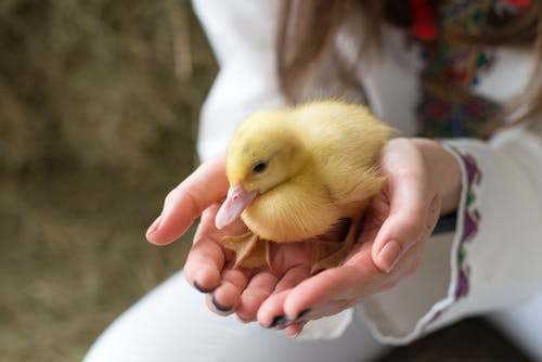 Yellow Chick on Persons Hand