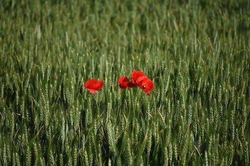 Fotos de stock gratuitas de amapola, campo, campos de cultivo