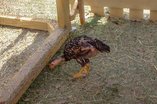 Ilmainen kuvapankkikuva tunnisteilla eläin, jauhettu, kana