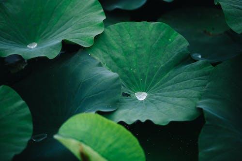 Foto d'estoc gratuïta de 'lotus indi', a l'aire lliure, aigua