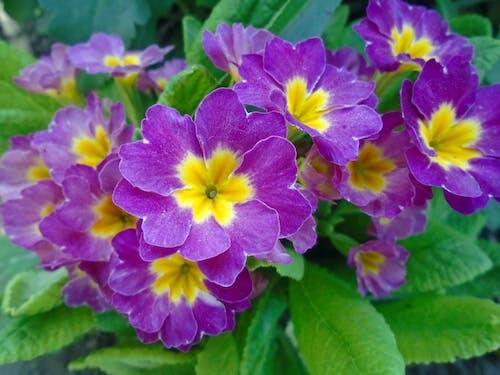 Безкоштовне стокове фото на тему «primula, впритул, квіти»