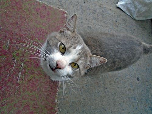 Безкоштовне стокове фото на тему «впритул, кицька, кішка»