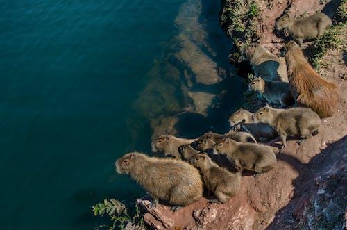 Ilmainen kuvapankkikuva tunnisteilla aurinko, brasilia, capybara