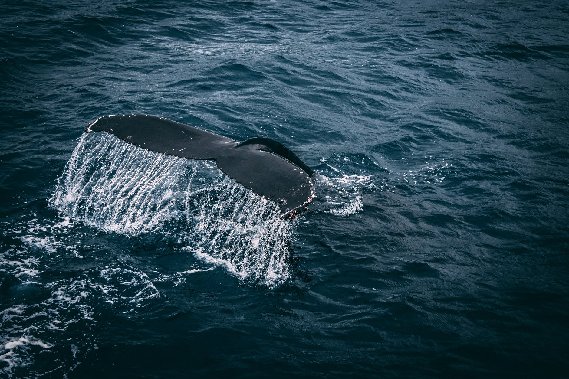 whale tail on water surface