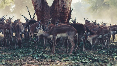 Wildlife Photography of Herd of Gazelle