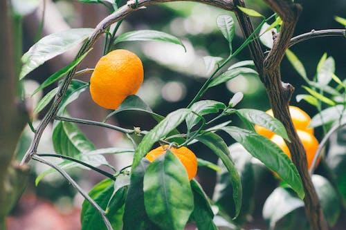 Photos gratuites de agrumes, aliments, arbre, croissance