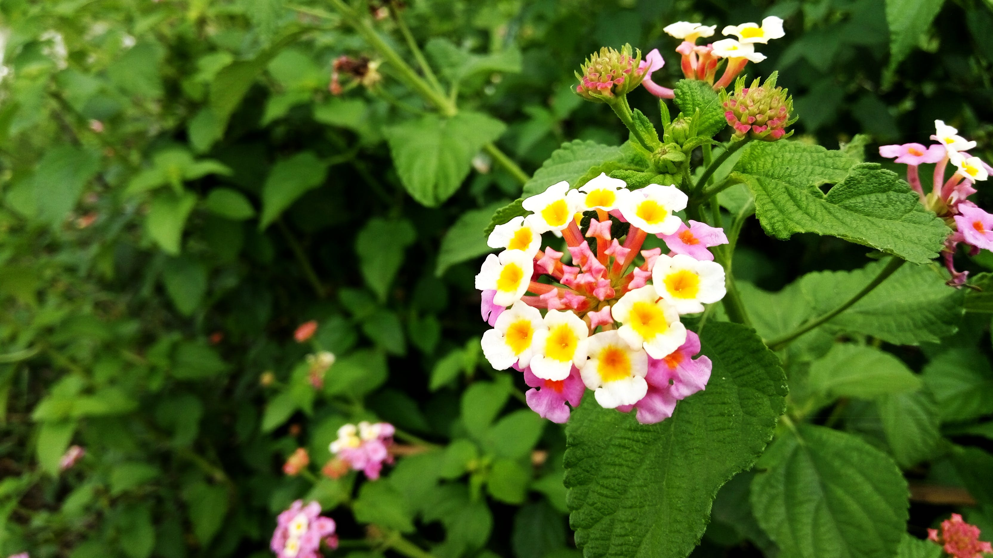 Yellow White and Pink Petaled Flower