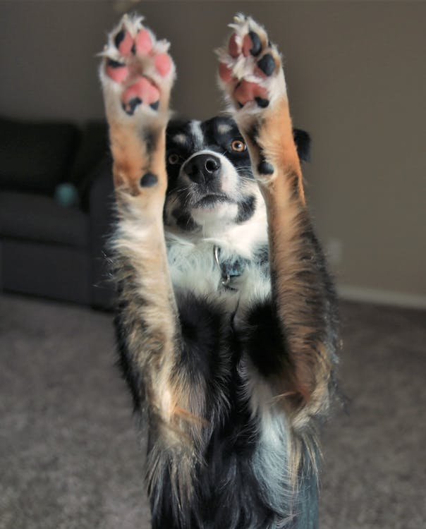 Free stock photo of dog, excited, paws