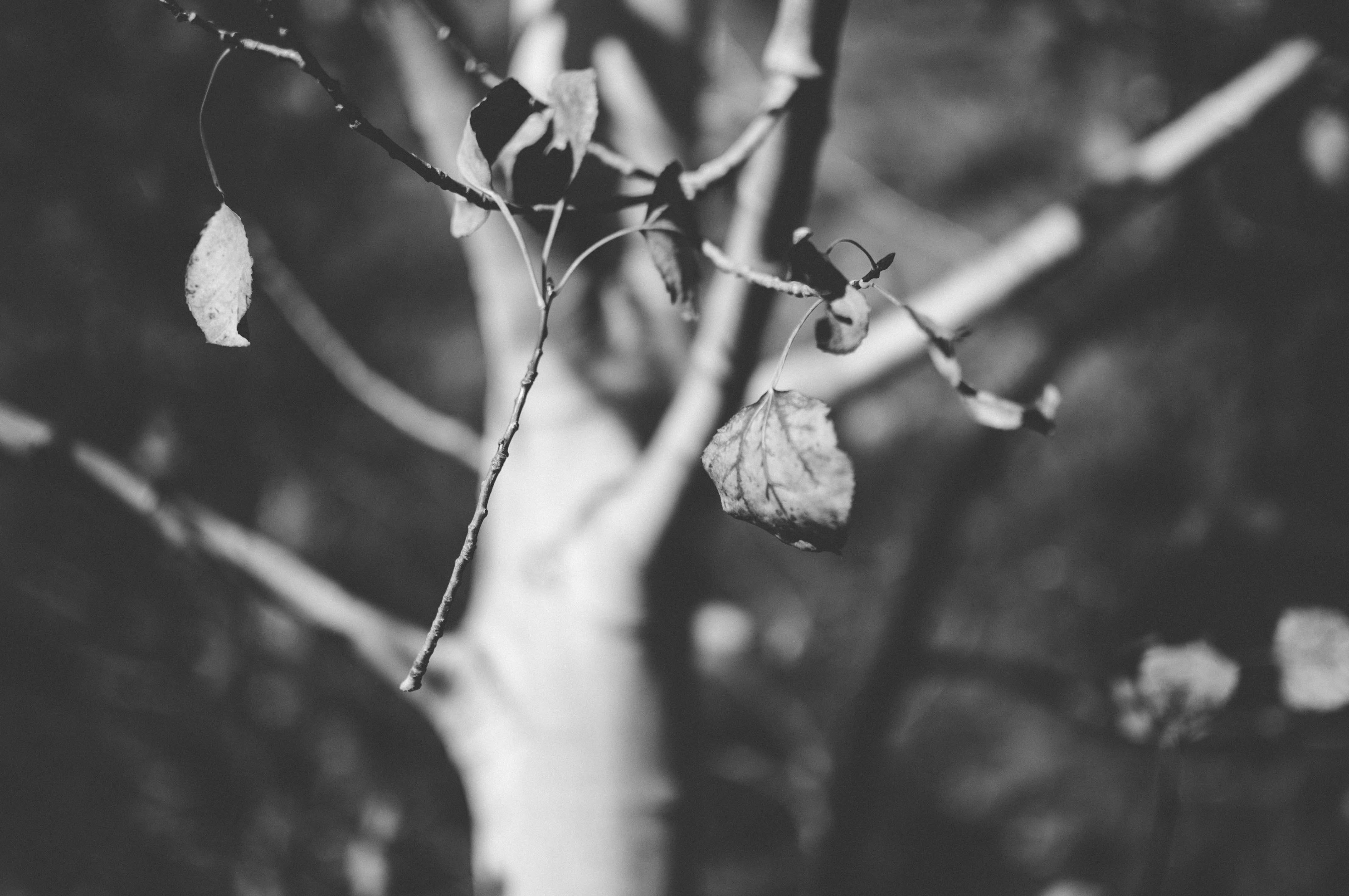 Free stock photo of autumn, black and white, branch, leaves