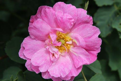 Close-Up Shot of a Pink Damask Rose in Bloom