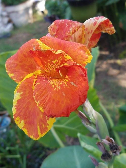 Photos gratuites de canna, fleur, lis
