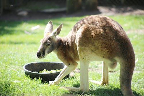 Foto profissional grátis de animal, animal do zoológico, canguru