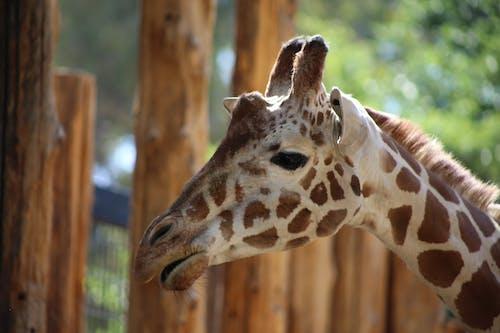 Foto profissional grátis de animal do zoológico, girafa, jardim zoológico