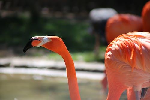 Foto profissional grátis de animal do zoológico, flamingo, jardim zoológico