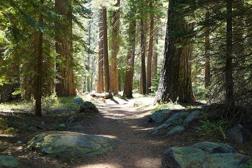 Gratis arkivbilde med løype, sequoia nasjonalpark, skogsti