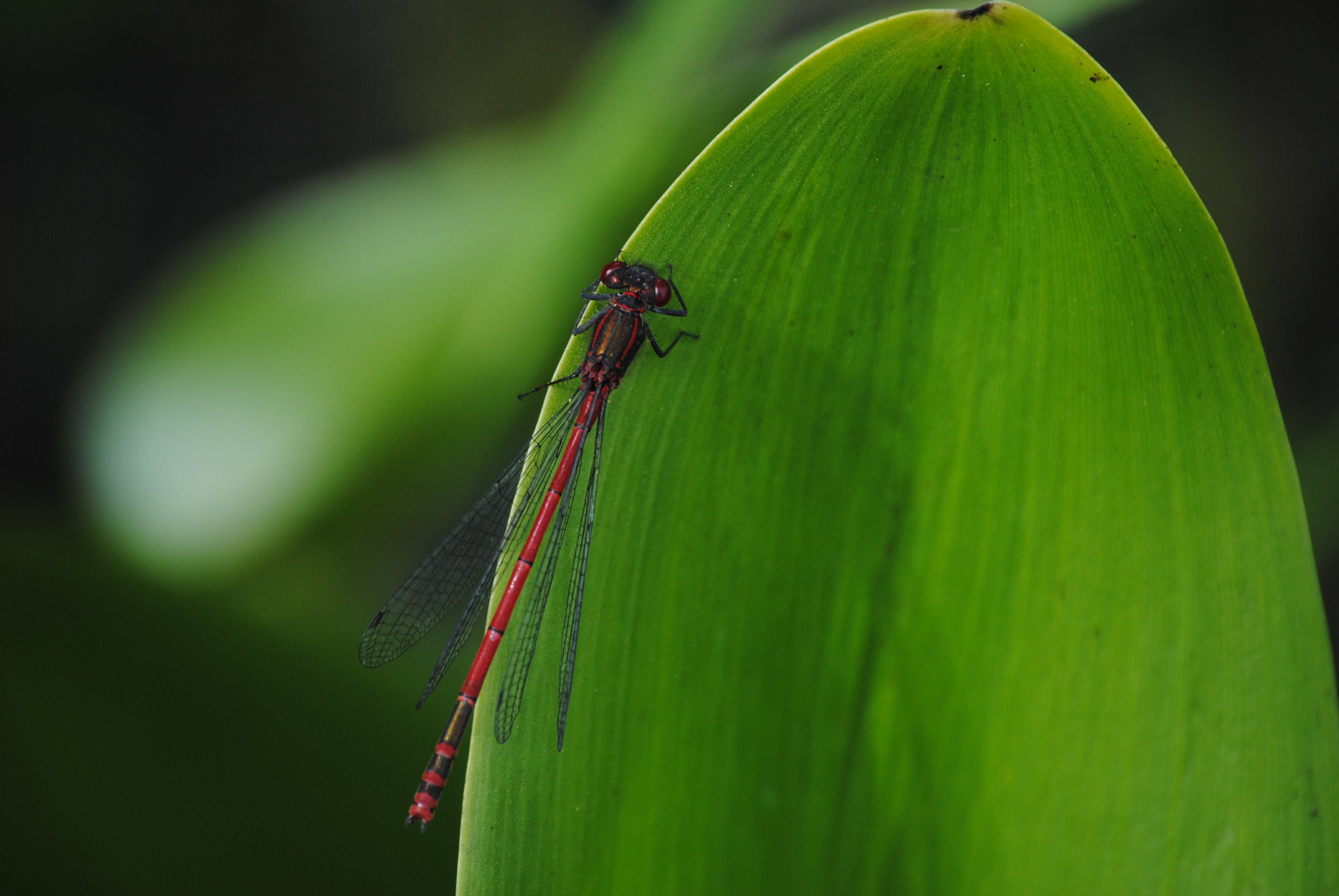 Selective Focus Photo of Red Damselfly on Green Leaf