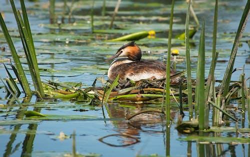 Free stock photo of bird nest, grebe, water bird