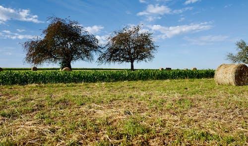 Photos gratuites de champ de maïs