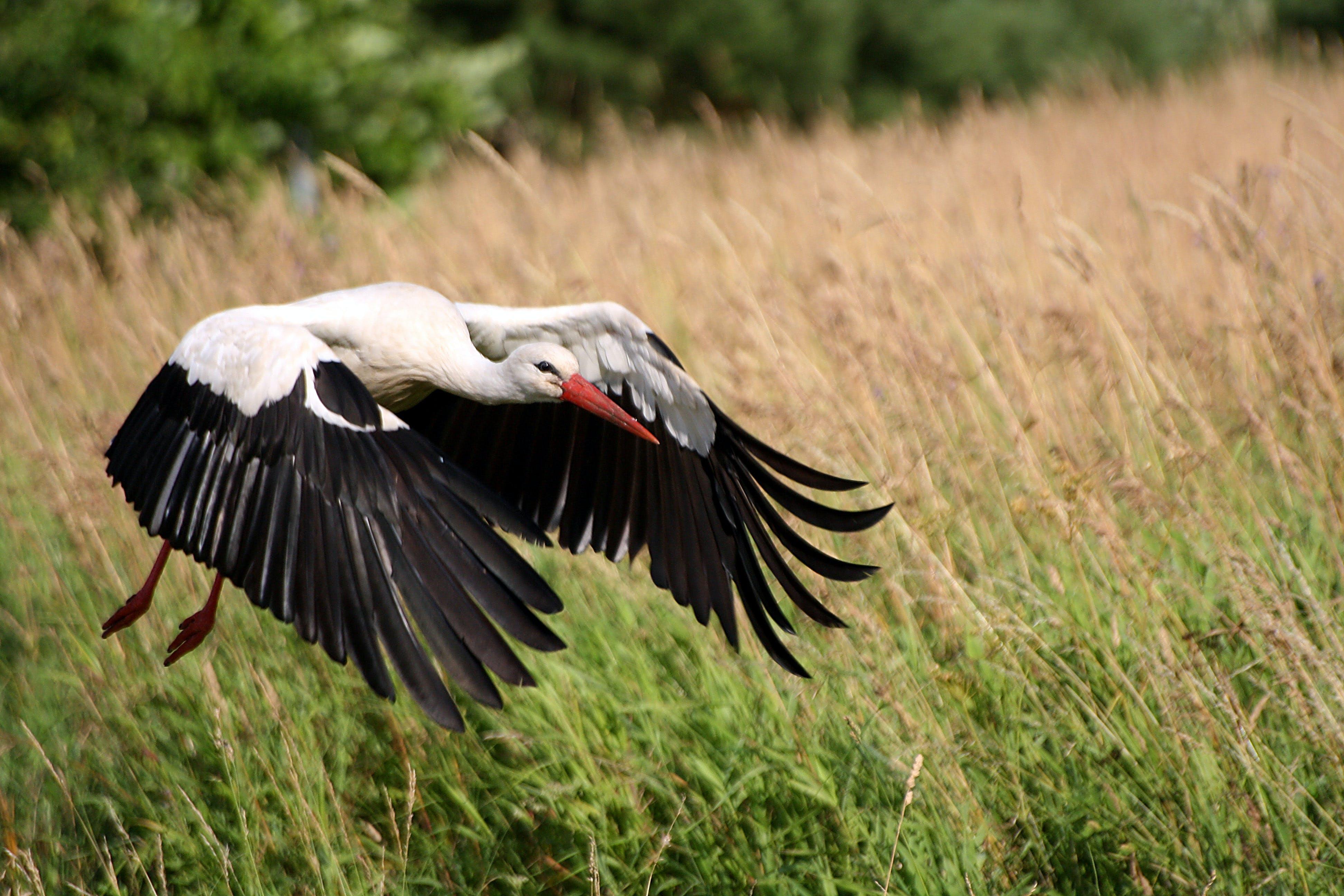 Free stock photo of stork, stork flying, white stork
